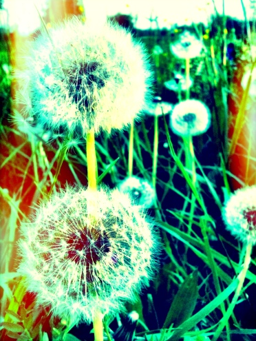 dandelion /pic by c. schoenfeld