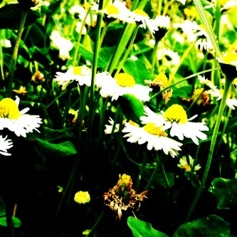 daisies /pic by c. schoenfeld