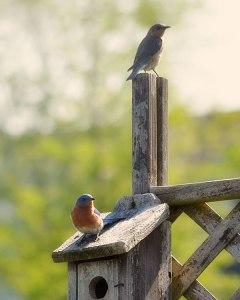 bluebird-pair
