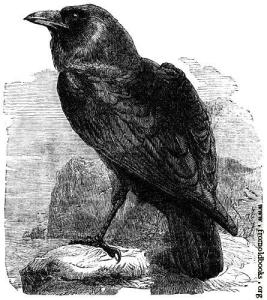 234-The-Raven-Corvus-Corax-q75-445x500