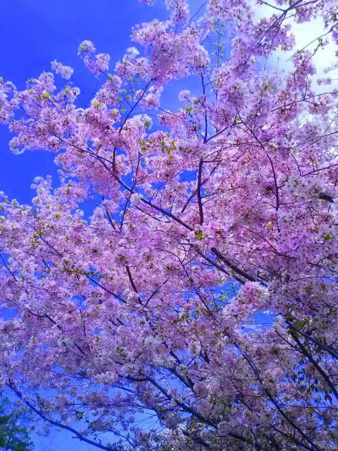pink sakura3