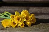 daffodils-3152611_1920