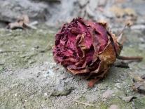 rose-289911_1920